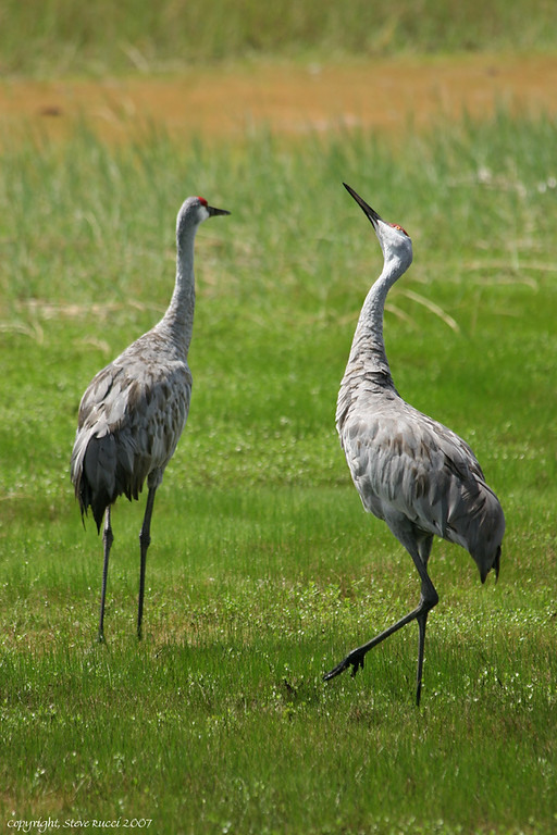 Sandhill Cranes, North-Central Florida